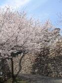 大手口 桜